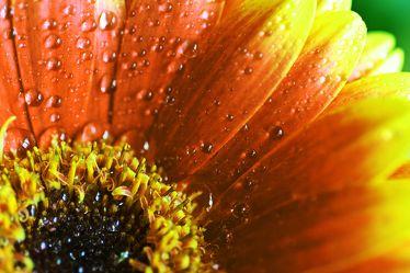Bild mit Natur,Elemente,Wasser,Pflanzen,Blumen,Korbblütler,Gerberas,Sonnenblumen,Blume