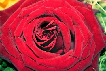 Red Rose 4