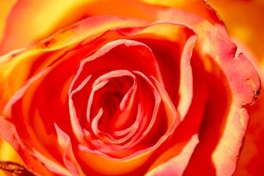 Bild mit Farben, Orange, Natur, Pflanzen, Blumen, Pfirsiche, Rosa, Rot, Rosen, Kamelien, Rose, Makro Rose