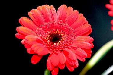 Bild mit Natur, Pflanzen, Blumen, Korbblütler, Gerberas, Blume, Pflanze, Flower, Flowers, Gerbera, Schnittblume, rote Gerbera, rote Gerberas, Blumenbild