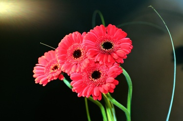 Bild mit Gegenstände, Natur, Pflanzen, Blumen, Korbblütler, Gerberas, Sträuße, Blume, Pflanze, Flower, Flowers, Gerbera, Schnittblume, rote Gerbera, rote Gerberas
