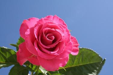 sky rose