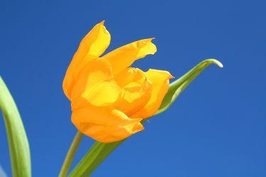 sky tulip