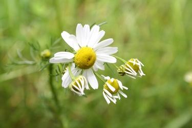 Bild mit Natur, Pflanzen, Gräser, Blumen, Korbblütler, Kamillen, Astern