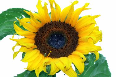 Bild mit Natur,Pflanzen,Himmel,Lebensmittel,Essen,Blumen,Korbblütler,Sonnenblumen,Blume,Flower,Flowers,Sonnenblume,Sunflower,Sunflowers,Helianthus annuus,Helianthus,Asteraceae