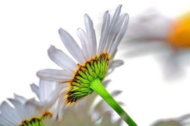Bild mit Natur, Pflanzen, Blumen, Korbblütler, Kamillen, Blume, Pflanze