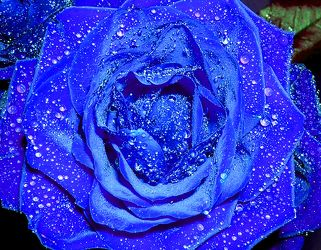 Wet Blue Rose