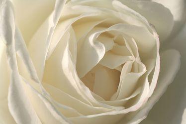 White Rose 6