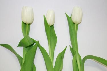 Bild mit Farben, Gegenstände, Natur, Pflanzen, Jahreszeiten, Blumen, Blumen, Weiß, Weiß, Frühling, Blume, Pflanze, Tulpe, Tulips, Tulpen, weiße Tulpen, Tulipa, Flower, Flowers, Tulip, weiße Tulpe, white tulip, white tulips
